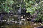 Mangrove swamp in Madagascar [madagascar_masoala_0688]