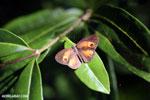 Butterfly [madagascar_masoala_0696]