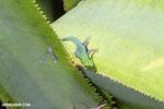 Lined Day Gecko (Phelsuma lineata) [madagascar_masoala_0732]