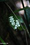 Orchid [madagascar_masoala_0737]