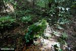 Rainforest at Tampolo [madagascar_masoala_0742]
