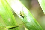 Green katydid [madagascar_masoala_0761]