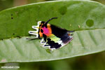 Brilliantly-colored wing of the Madagascan sunset moth (Chrysiridia rhipheus)