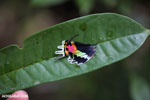Neon-colored wing of the Madagascan sunset moth (Chrysiridia rhipheus)