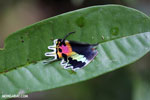 Neon-colored wing of the Malagasy sunset moth
