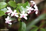Flowers [madagascar_masoala_0806]