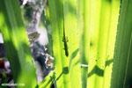 Speckled day gecko (Phelsuma guttata) [madagascar_masoala_0844]
