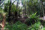 Mangrove forest and pandanus swamp on Madagascar's Masoala Peninsula [madagascar_masoala_0856]