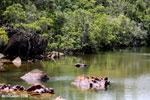 Mangrove wetland on Madagascar's Masoala Peninsula [madagascar_masoala_0868]