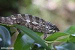 Panther chameleon [madagascar_masoala_0880]