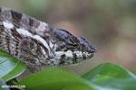 Panther chameleon [madagascar_masoala_0882]