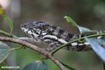 Panther chameleon [madagascar_masoala_0885]