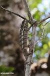Panther chameleon [madagascar_masoala_0886]