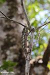 Panther chameleon [madagascar_masoala_0887]