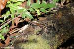 Lizard [madagascar_masoala_0894]