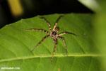 Spider [madagascar_masoala_0914]