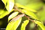 Katydid [madagascar_masoala_0918]