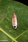 Roach [madagascar_masoala_0925]