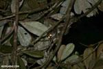 Greater dwarf lemur (Cheirogaleus major) [madagascar_masoala_0938]