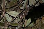 Greater dwarf lemur (Cheirogaleus major) [madagascar_masoala_0943]
