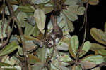 Greater dwarf lemur (Cheirogaleus major) [madagascar_masoala_0944]