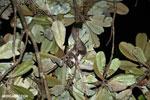 Greater dwarf lemur (Cheirogaleus major) [madagascar_masoala_0946]