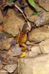 Plethodontohyla notosticta frog [madagascar_masoala_0962]