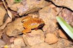 Plethodontohyla notosticta frog [madagascar_masoala_0965]