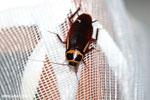 Giant cockroach in Madagascar [madagascar_masoala_0970]