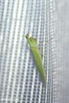 Green mantid [madagascar_masoala_0975]