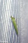 Green mantid [madagascar_masoala_0976]