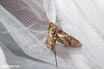 Giant moth [madagascar_masoala_0978]