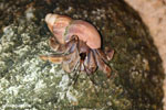 Hermit crab in Madagascar