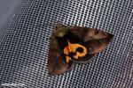 Madagascar moth with an orange mask-marking on its back [madagascar_masoala_1014]