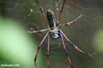 Giant orb spider in Madagascar