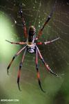 Giant orb spider in Madagascar [madagascar_masoala_1021]