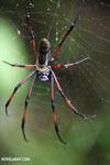 Giant orb spider in Madagascar [madagascar_masoala_1022]