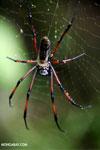 Giant orb spider in Madagascar [madagascar_masoala_1023]