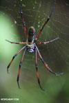Giant orb spider in Madagascar [madagascar_masoala_1024]