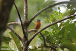 Female Malagasy flycatcher in the rainforest