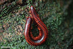 Red milipede in the rainforest