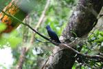 Blue Coua (Coua caerulea) [madagascar_masoala_1042]