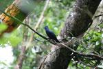 Blue Coua (Coua caerulea) [madagascar_masoala_1043]