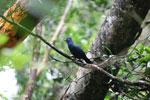 Blue Coua (Coua caerulea) [madagascar_masoala_1044]