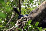 Blue Coua (Coua caerulea) [madagascar_masoala_1047]