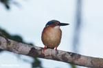 Madagascar kingfisher [madagascar_masoala_1049]