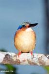 Madagascar kingfisher [madagascar_masoala_1051]