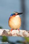 Madagascar kingfisher [madagascar_masoala_1052]