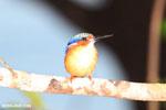 Madagascar kingfisher [madagascar_masoala_1053]