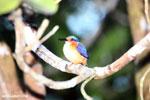 Madagascar kingfisher [madagascar_masoala_1054]